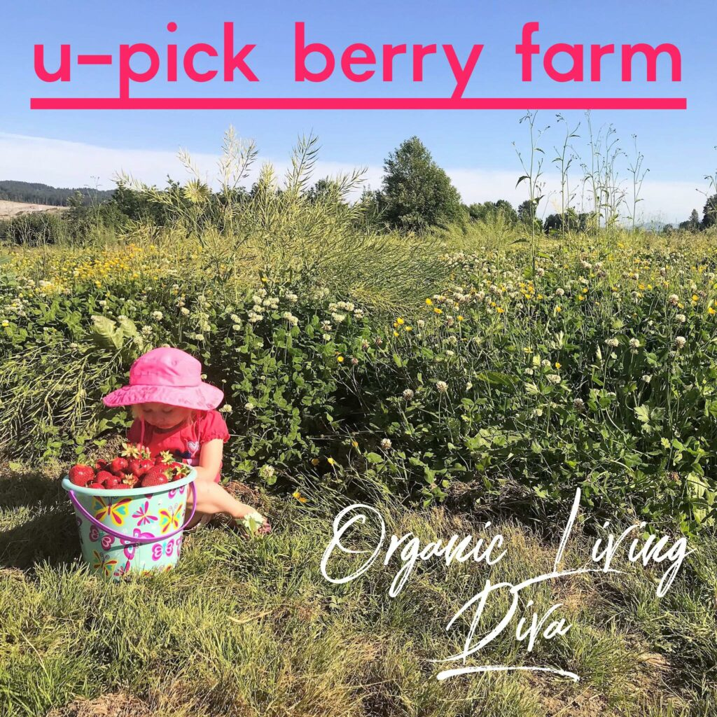 U-pick strawberry farm field with clover and buttercups